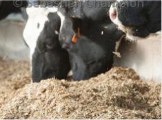 Effet de l'utilisation au tarissement d'un obturateur de trayons en complément d'un traitement antibiotique systématique sur l'incidence des mammites cliniques en fonction de la durée de la période sèche des vaches