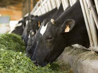 L'alimentation des vaches laitières a-t-elle une influence sur les mammites ?